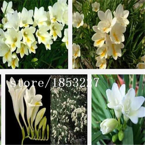 Visit to Buy] 18 Colors Available Freesia Hybrida Bulbs Indoor ...