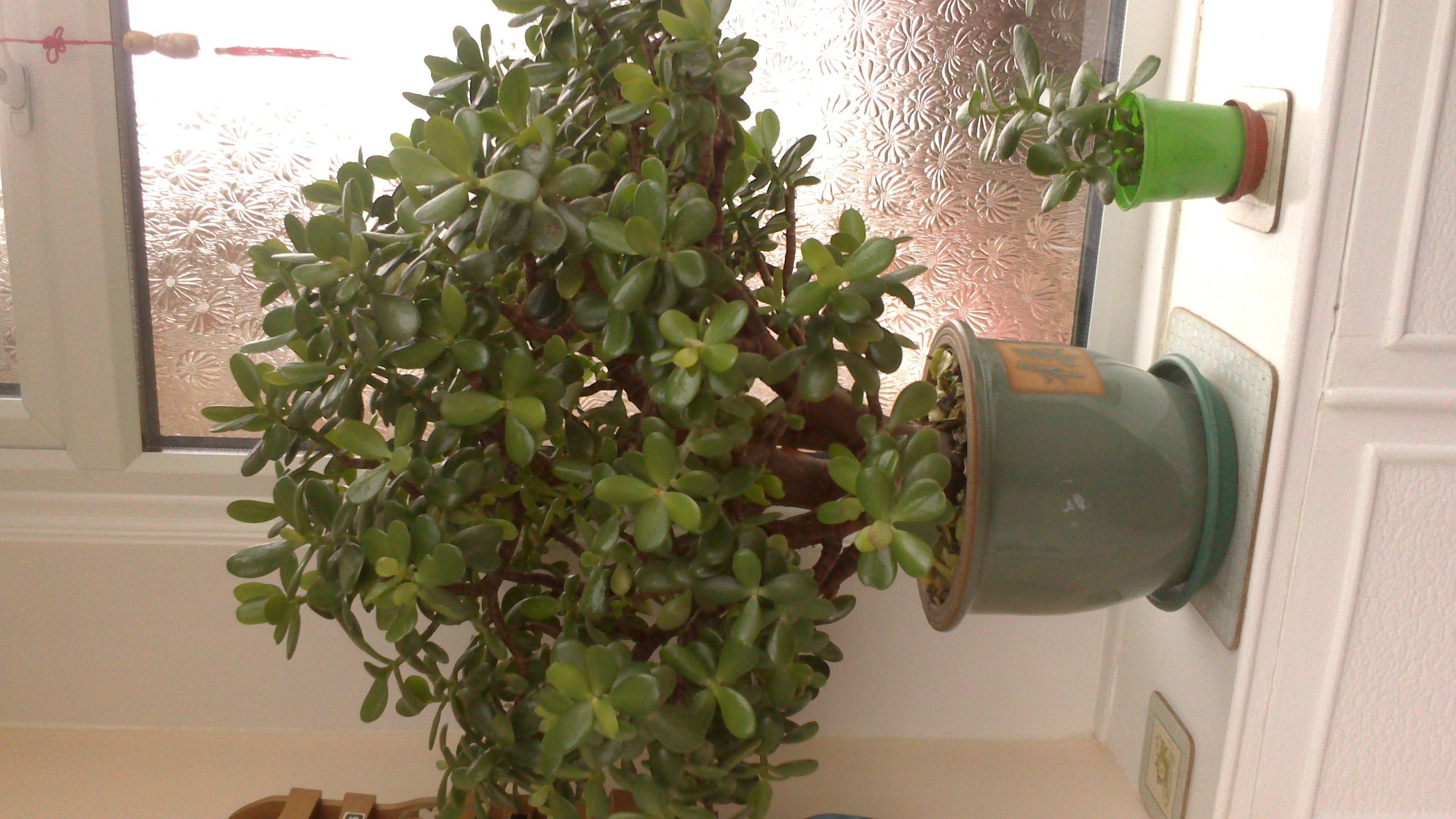 How To Grow And Look After A Money Tree Plant With Flowers Money Trees Plants Jade Plants