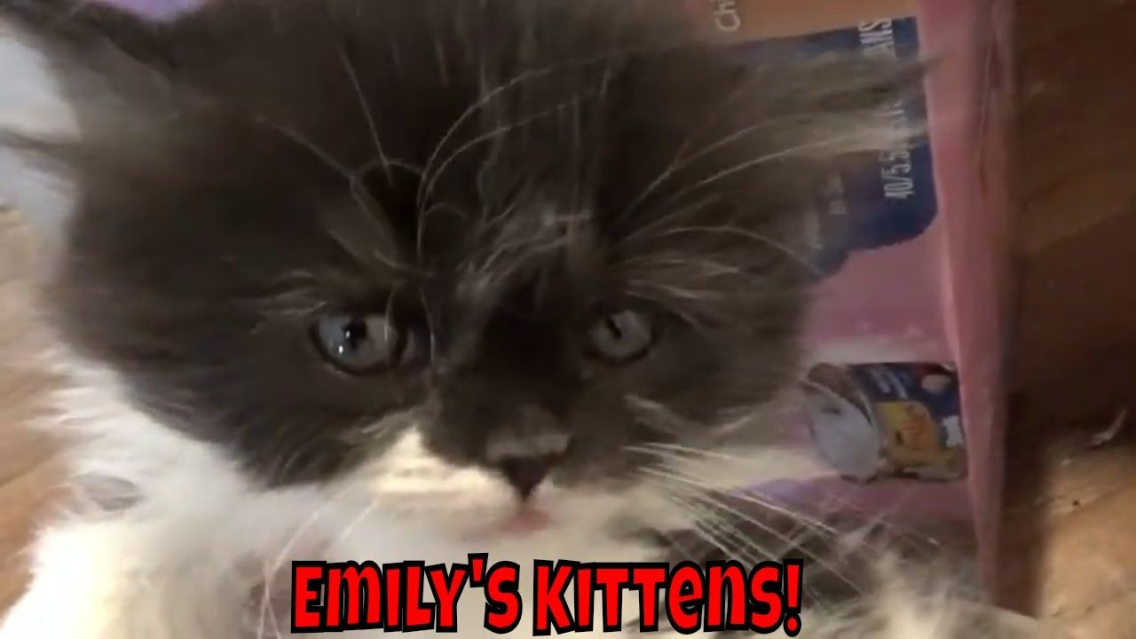 Emily S Kittens Are 6 Weeks Old Cute Little Kittens Cute Little Kittens Little Kittens Kittens