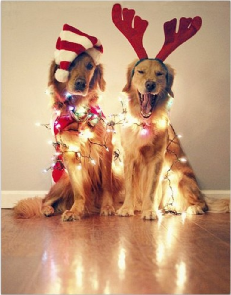 holiday photo with dogs pets with christmas lights