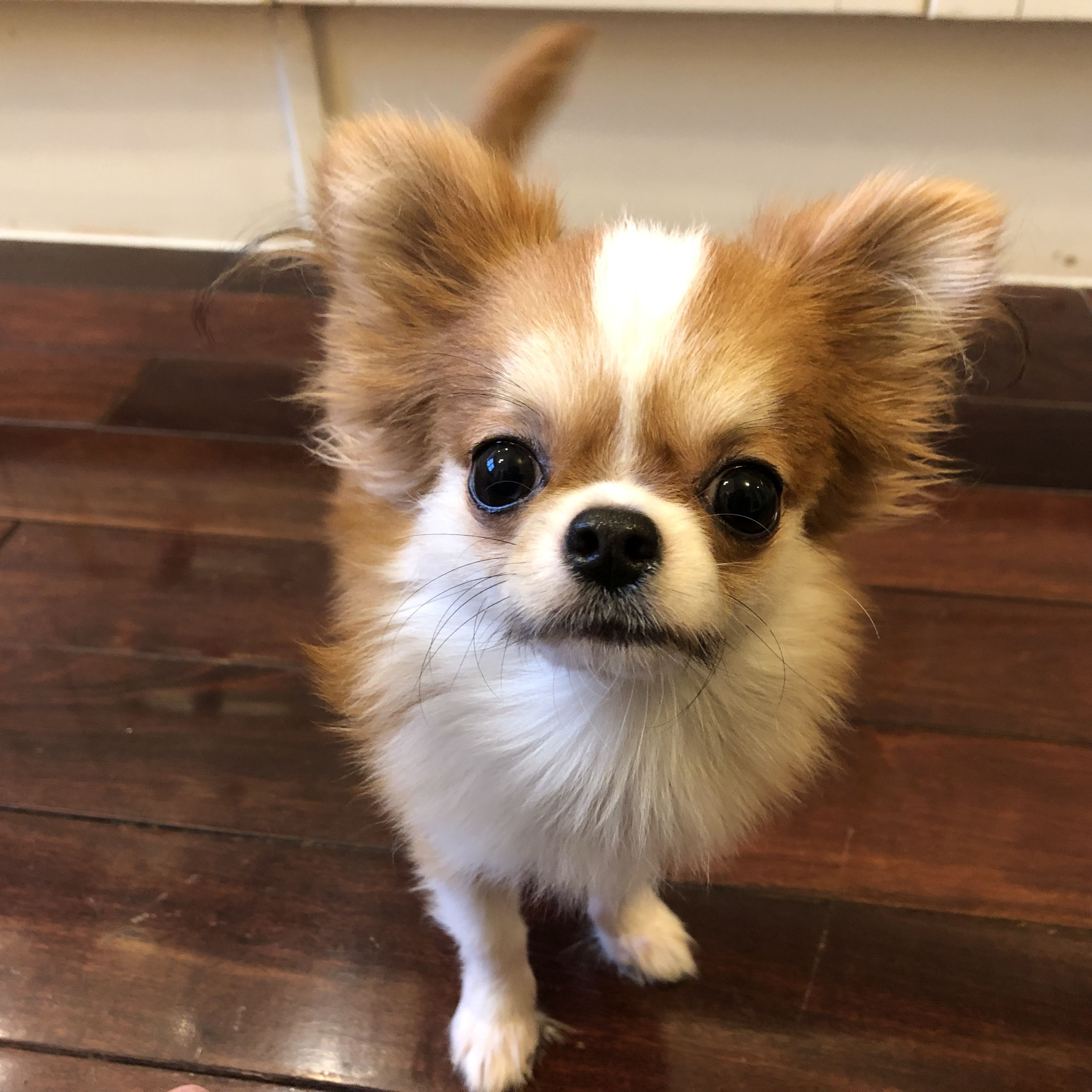 Pin by ninh le on adorable chihuahua cute animals
