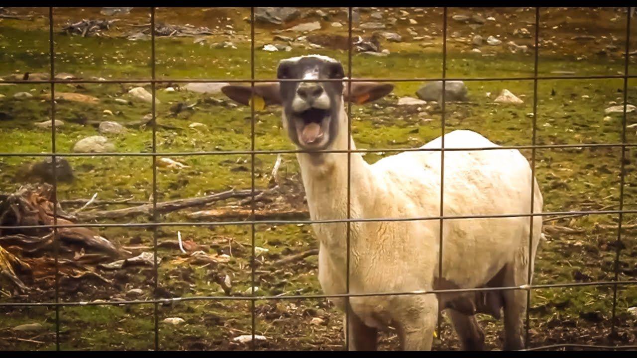 Goat yelling MOM - YouTube  Mom Screaming Goats Funny