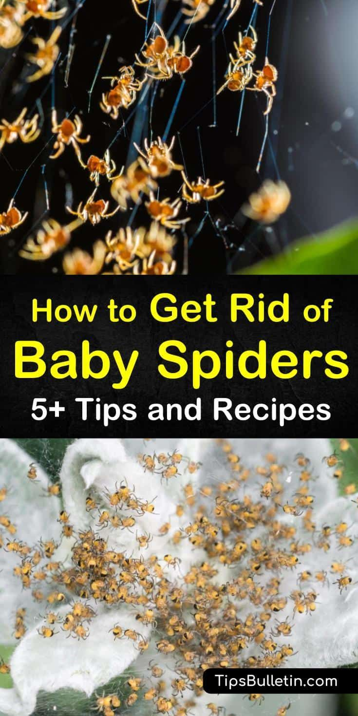 how to get rid of wolf spiders around your house
