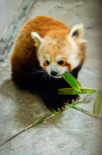 Cute Red Panda Cub eating her Breakfast