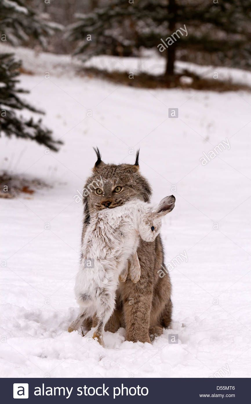 Download This Stock Image Canada Lynx Lynx Canadansis In Snow With Snowshoe Hare D55mt6 From Alamy S Library Of Millio Canada Lynx Wild Cats Snowshoe Hare