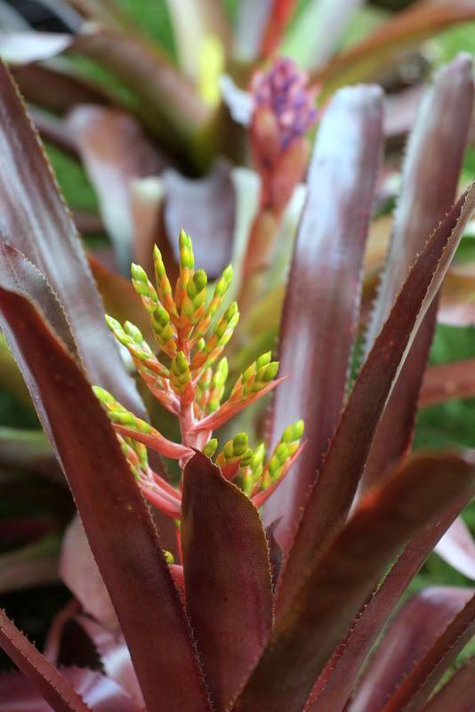 Image result for burgundy bromeliad