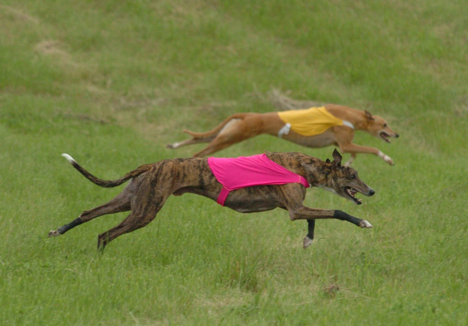 lure coursing  by joanne johnson  lure coursing competitions are fun to watch  and designed to