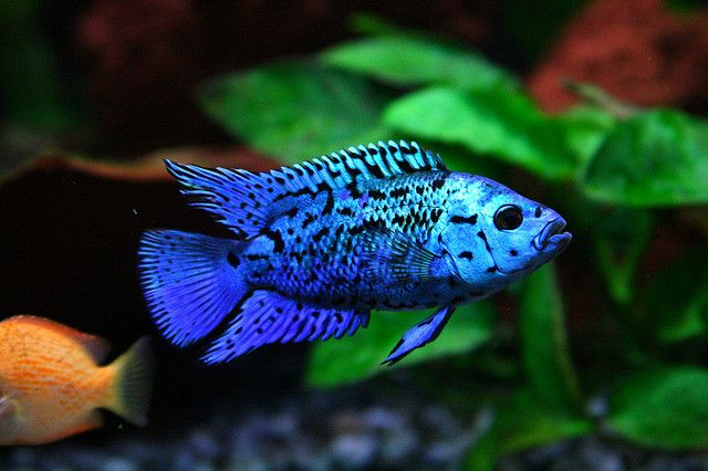 Electric blue jack dempsy a most beautiful specimen for Blue saltwater fish