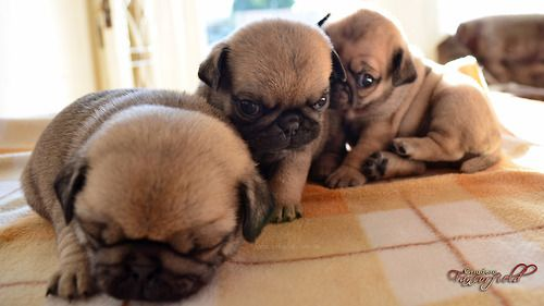 Baby pug train animals Pinterest Pugs, Baby pugs and Puppies