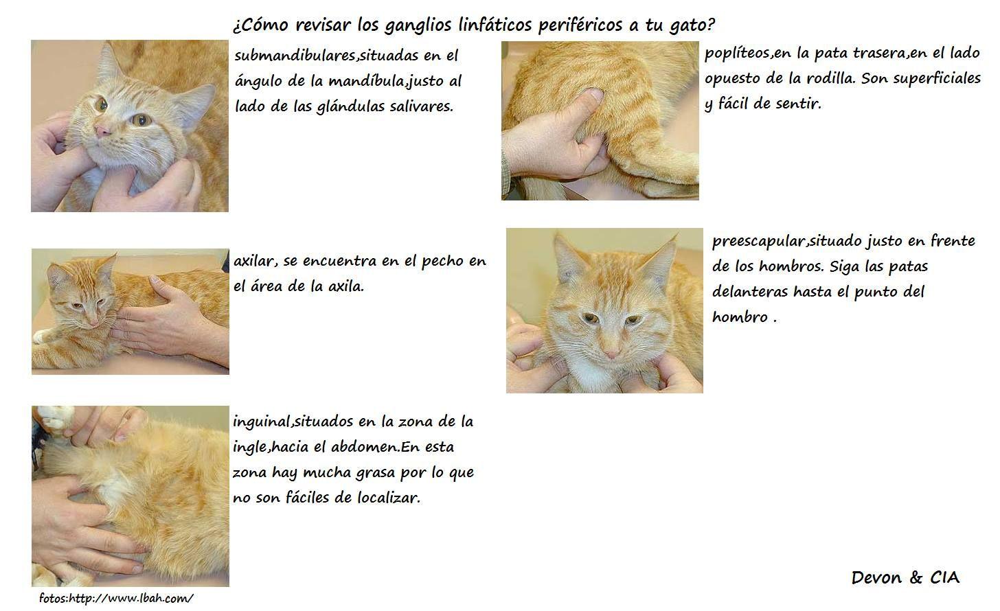 como revisar los ganglios linfáticos periféricos de tu gato | Gatos ...
