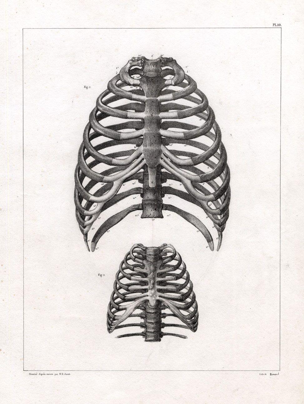 4 Antique Medical Anatomy Prints-THORAX-STERNUM-CHEST-RIBS-FOETUS ...