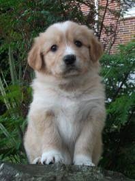 Golden Retriever Border Collie Puppies