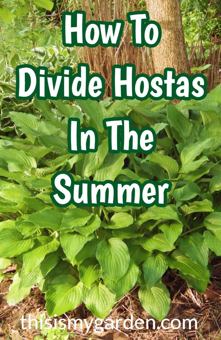 How to divide hostas and daylilies in the summer! Multiply