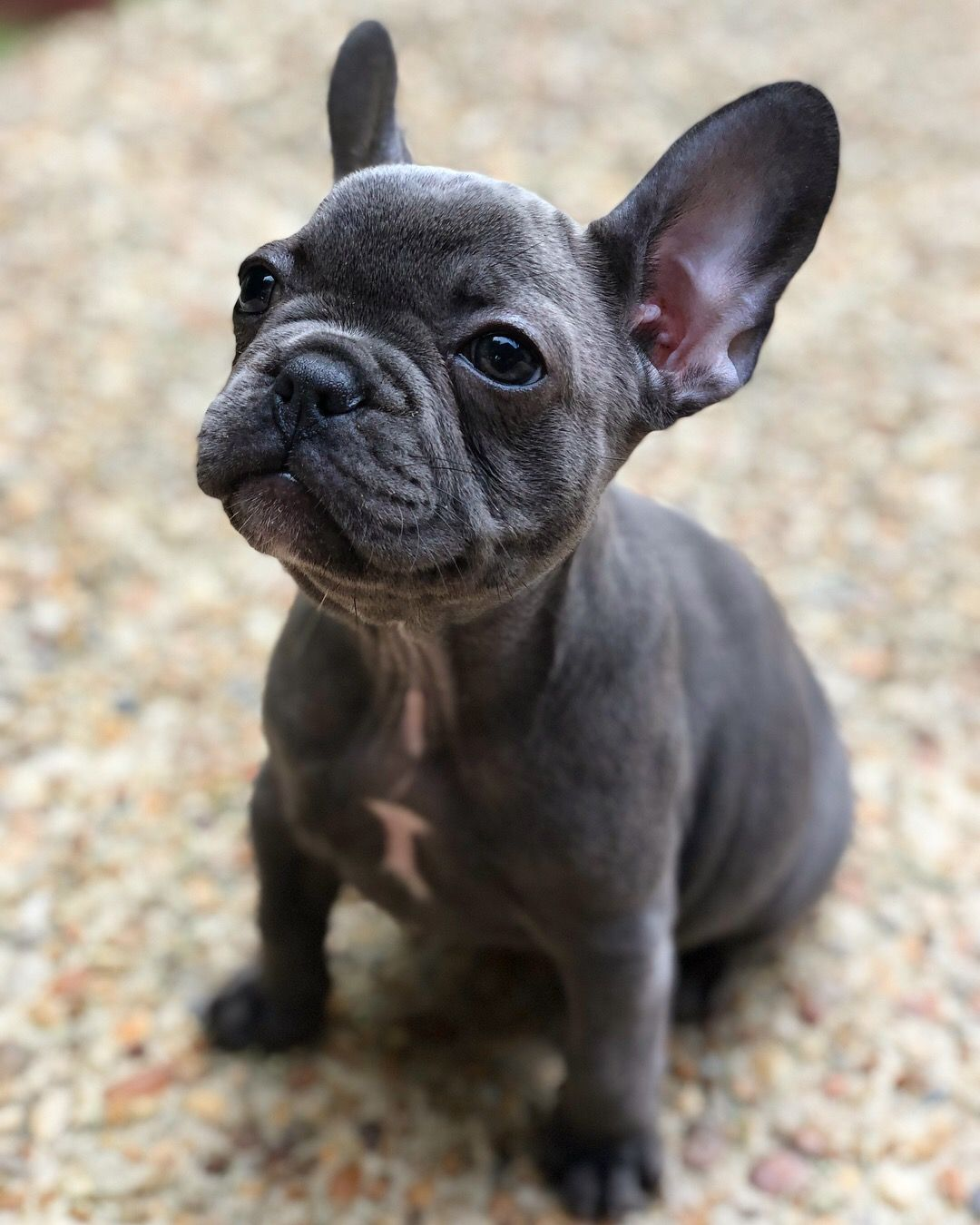 My Baby Stella Frenchie Frenchbulldog Frenchiepuppy