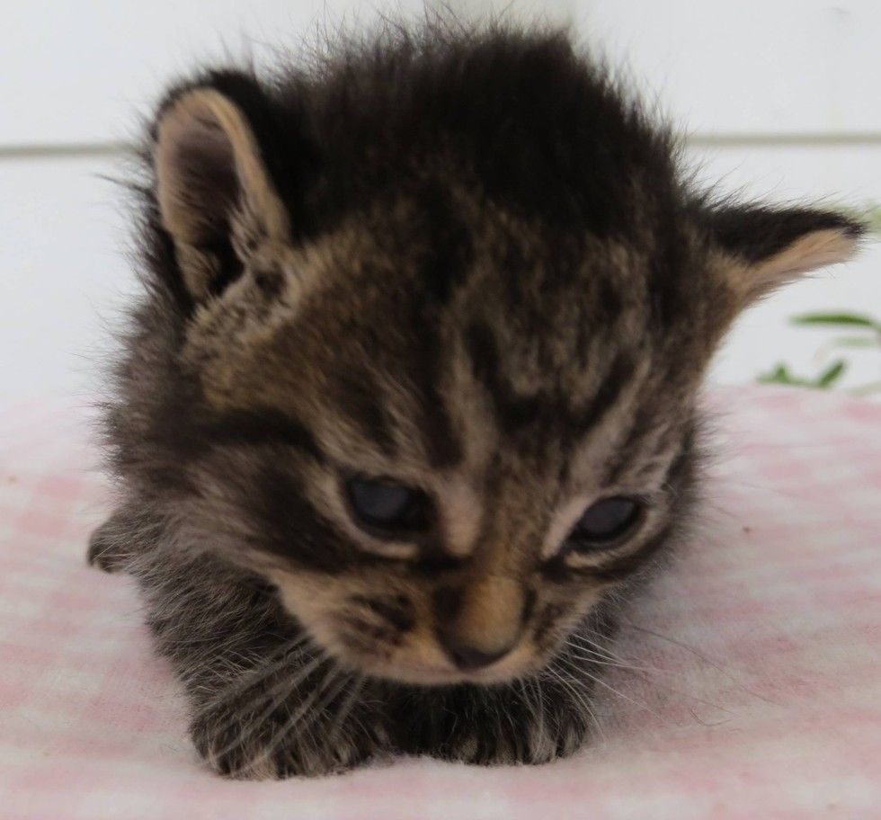 A Tiny Kitten Was Delivered To An Animal Rescue Group By An Unlikely Character In The Early Hours Of One Morning Photo Kitten Rescue Cute Baby Animals Kitten