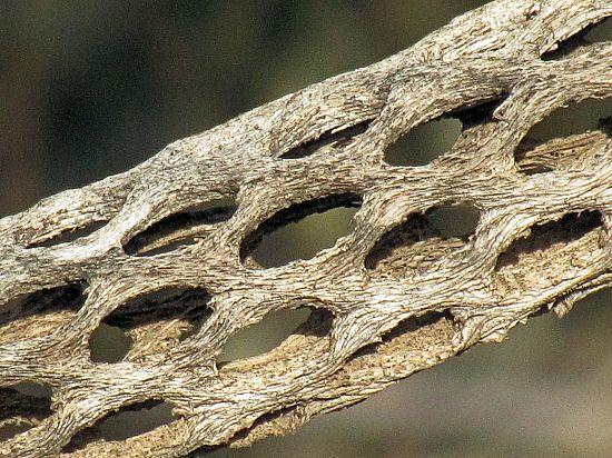 Resultado de imagen de cactus cholla