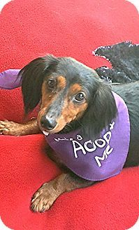 Akron Oh Dachshund Meet Agave A Dog For Adoption Dog