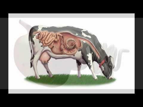 Fisiologia del sistema digestivo de rumiantes Universidad de la ...