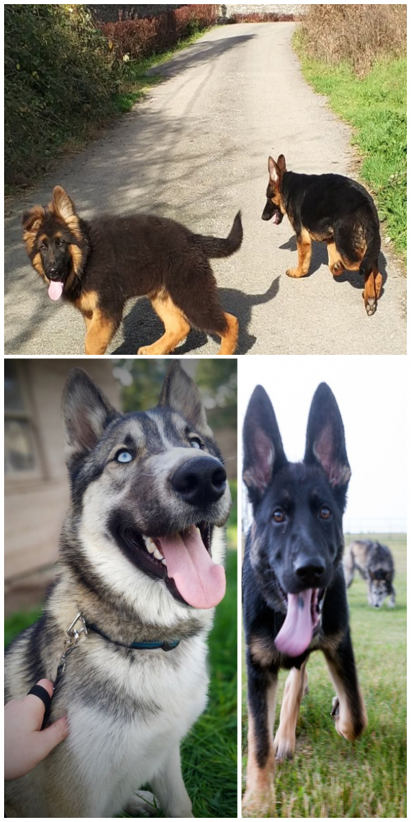 Find Out More On The Courageous German Shepherd Puppy Size Germanshepherddog Germanshepherdfami German Shepherd Dogs German Shepherd Puppies German Shepherd