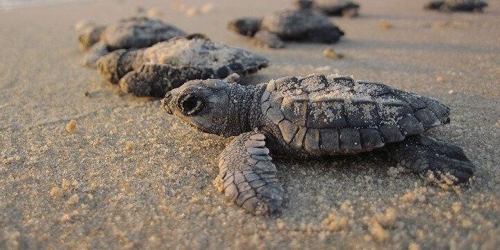 Marine Turtles, Ada, Ghana