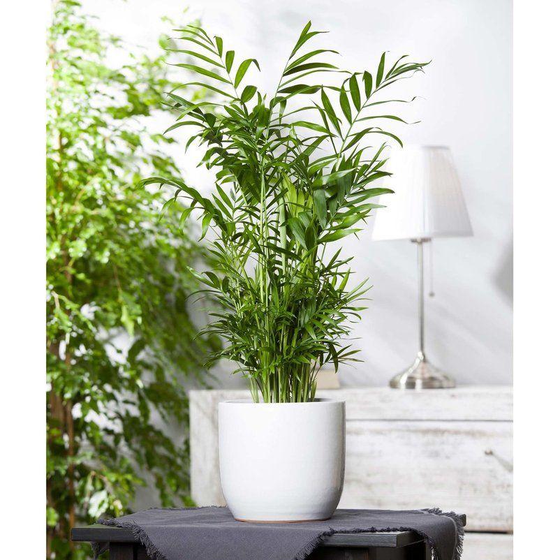 Pin Von Pflanzen Kolle Gartner Aus L Auf Zimmerpflanzen In 2020 Bergpalme Pflanzen Zimmerpflanzen