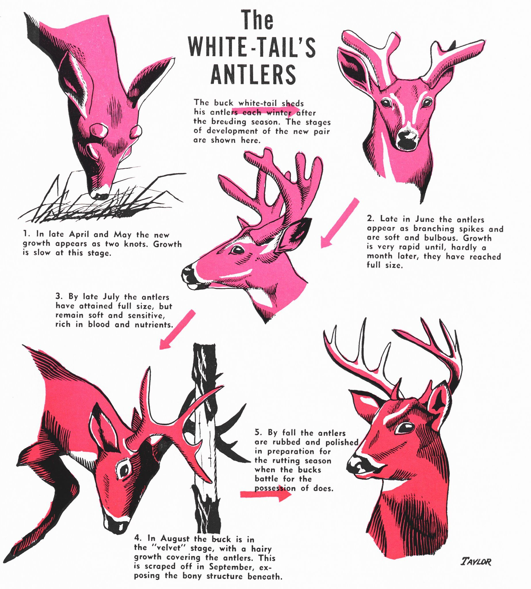 Do Your Students Know The Difference Between Antlers And
