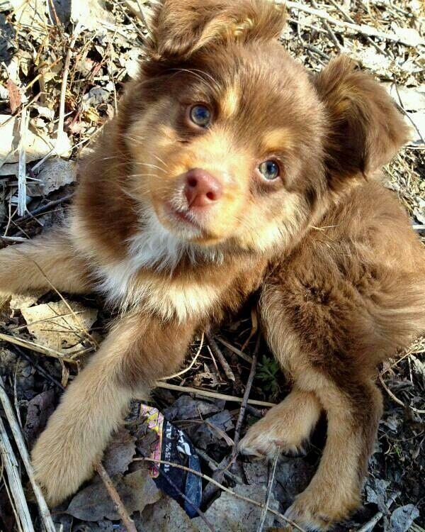 Pin Von Anna Riepler Auf Hunde Susse Tiere Aussie Welpen Tierbabys Bilder