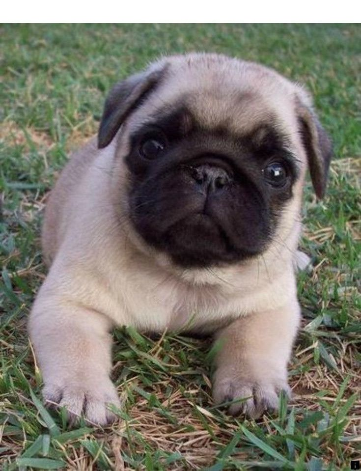 Pin On Trendy Pug Puppies