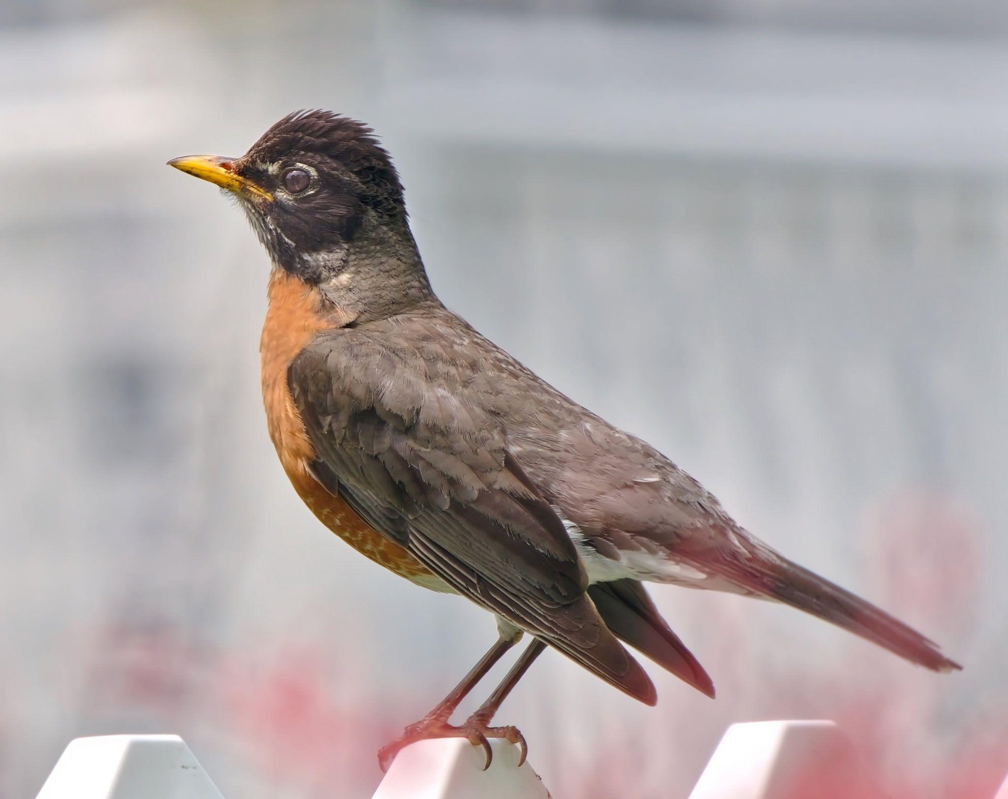 https://flic.kr/p/VmgwtM   American Robin