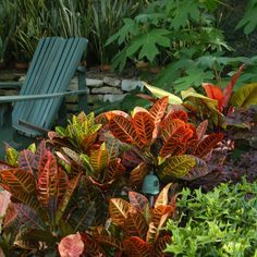 The striking foliage of a Croton provides year round color for your landscape.