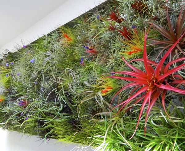 Plant Wall Art air plant wall - google search | design plants | pinterest | plant