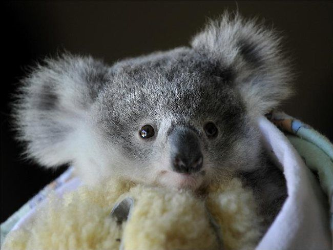 WIRES volunteer Cate Ryan, of St Andrews, is caring for Pindari, a rescued baby koala that lost its mother to cancer. Picture: Robert Pozo, of the Macarthur Chronicle