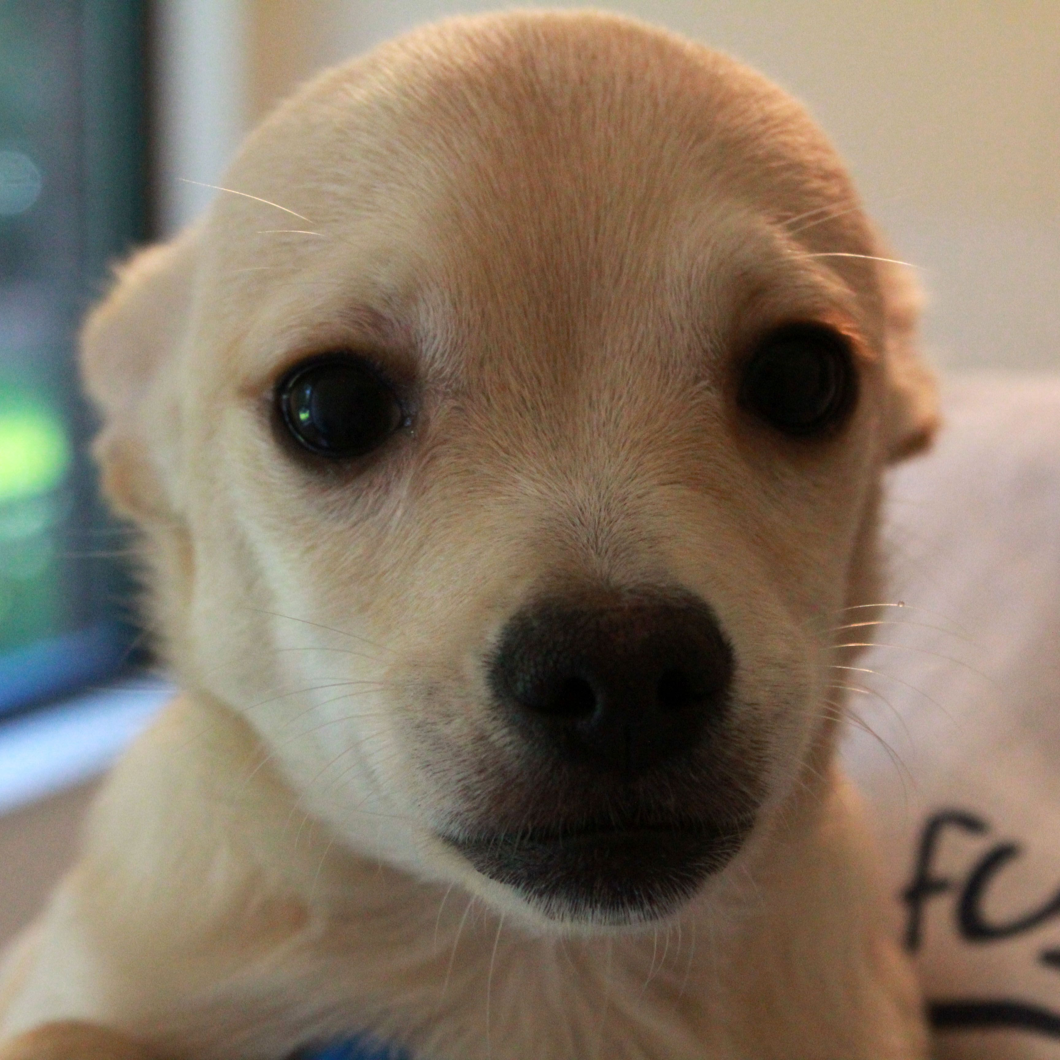 Chihuahua Dog For Adoption In Waco Tx Adn 660344 On Puppyfinder Com Gender Male Age Baby Chihuahua Dogs Dog Adoption Dogs