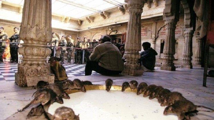 شاهد بالصور قرية هندية تعبد الفئران وتقدم لها القرابين 47