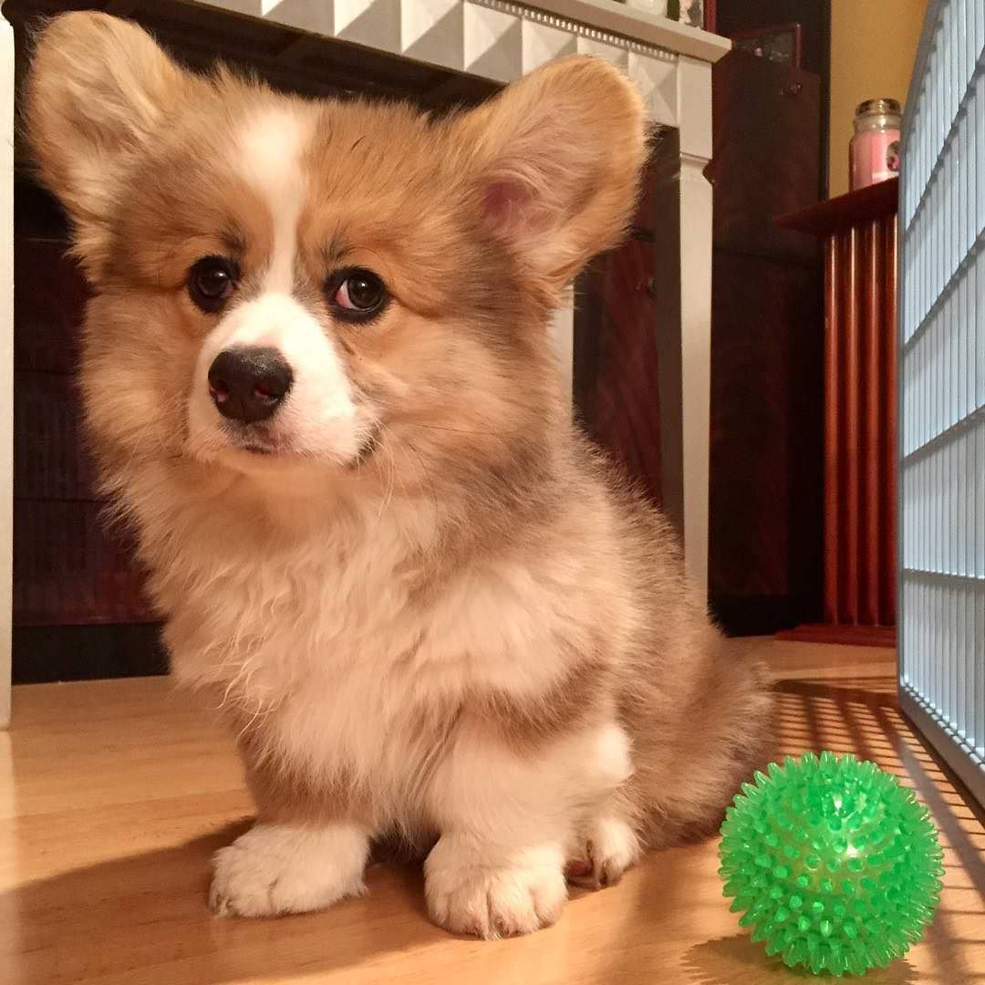 Mason Is The Fluffiest Little Pup Dogpictures Dogs Aww