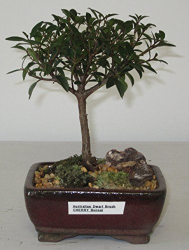 Bonsai Gardens Highest Quality Small Dwarf Australian Brush Cherry Bonsai Tree Read More Reviews Of The Product By V Bonsai Tree Cherry Bonsai Bonsai Garden