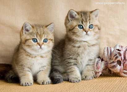 Cattery Of British Shorthaired Silver Shaded Cats Kittens Kittens Cutest Kittens Cute Cats
