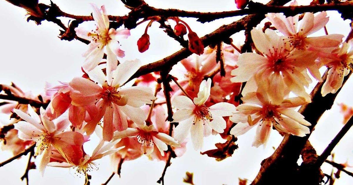 26 Wallpaper Lukisan Bunga Sakura Gambar Wallpaper For Laptop Bunga Sakura Jepang Lukisan Download Cara Menggambar Bunga U Gambar Bunga Bunga Sakura Bunga