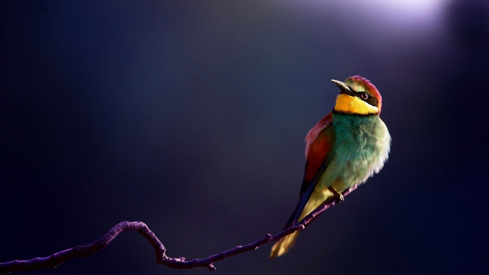 colorful hd birds wallpapers,birds,cute birds hd ...