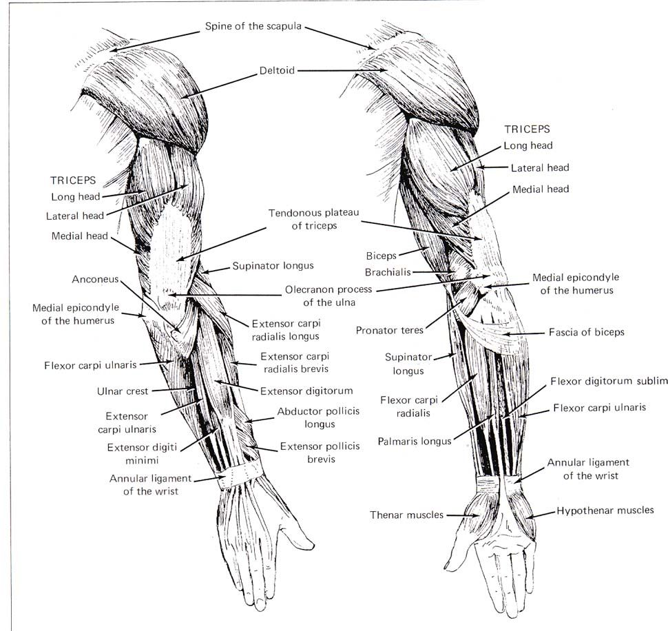 arm muscles  posterior view