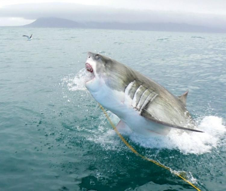 Great White Shark Jumping Out of Water   white shark weighing over