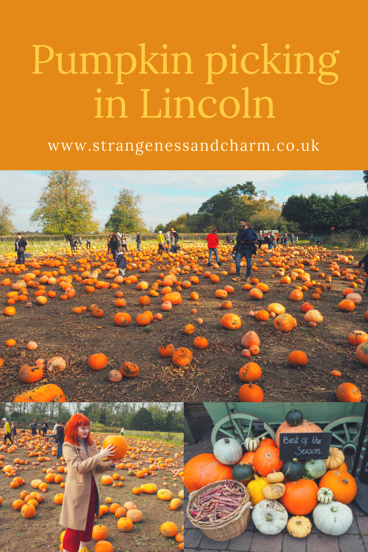Pumpkin picking at Doddington Hall, Lincoln Pumpkin
