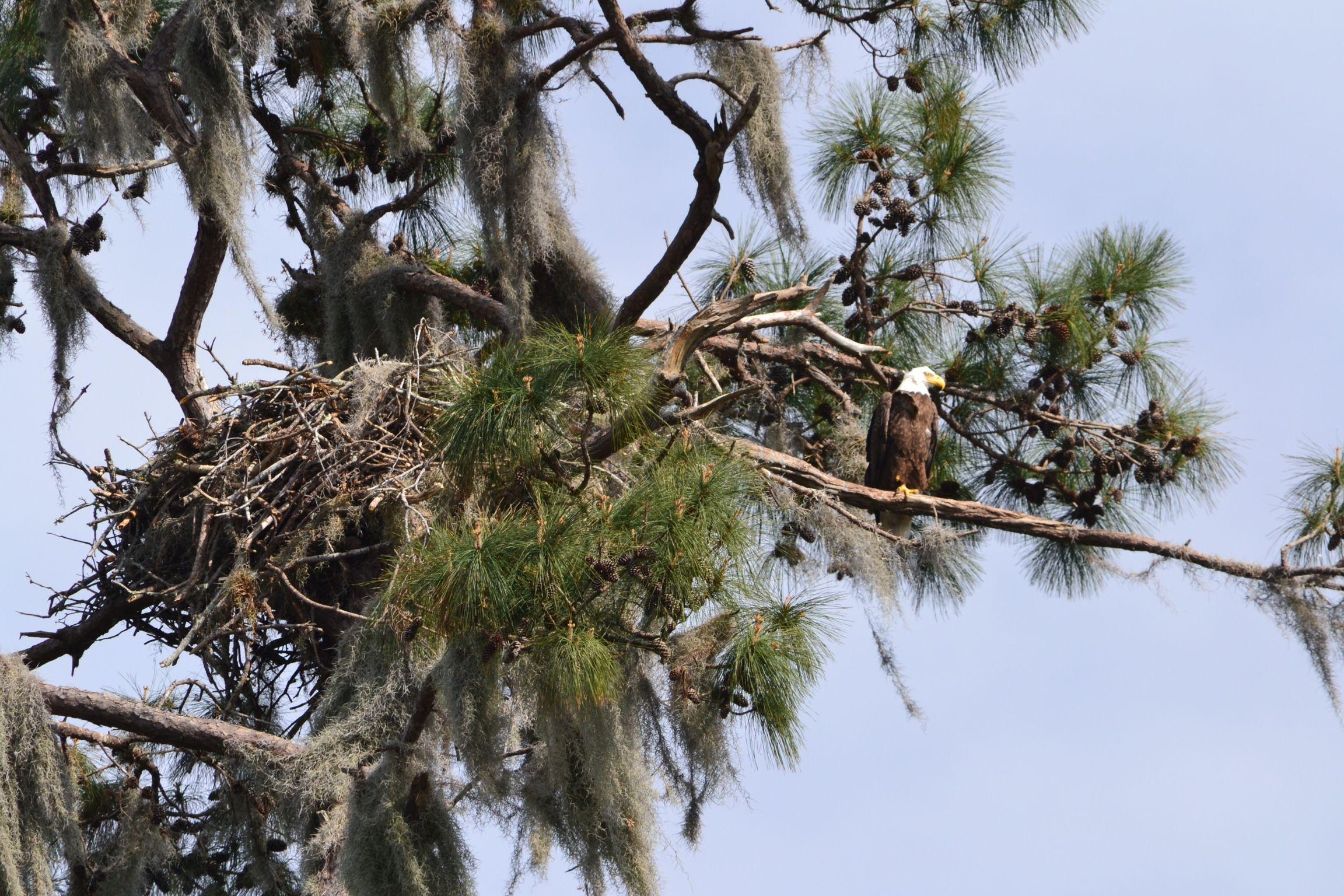 Bald eagle with nest fish camp national wildlife refuge