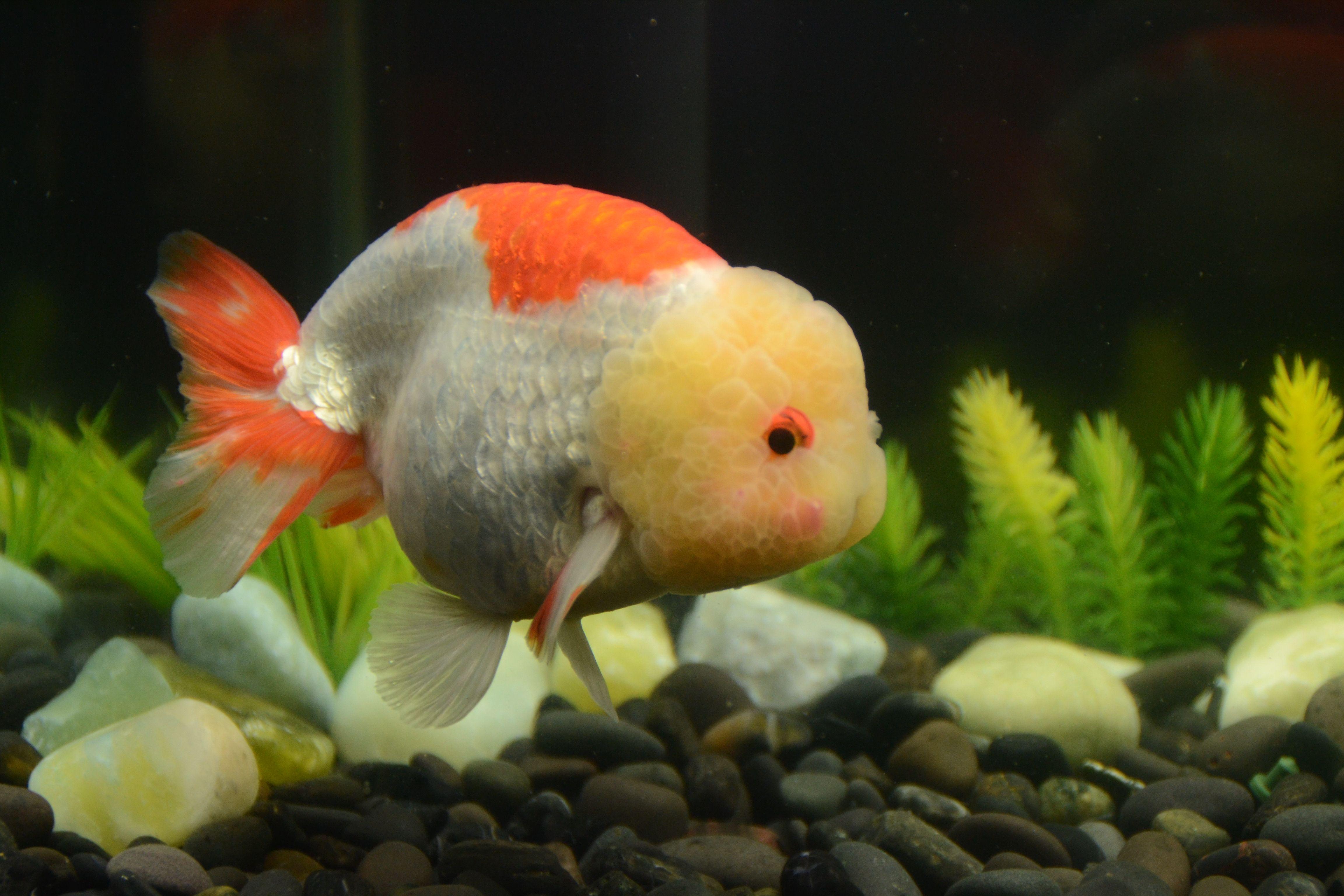 Red and White Oranda Golfish Jumbo Size Fish Buygoldfishonline