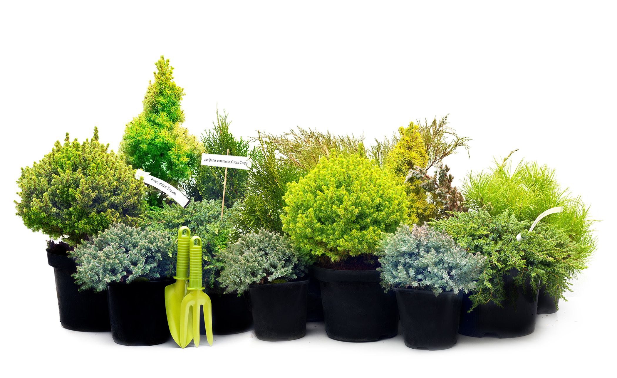 Dwarf conifers conifer trees containers small for Small decorative evergreen trees