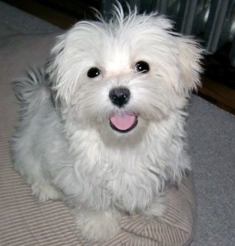 Maltese Maltese Dogs Care Teacup Puppies Maltese Puppies