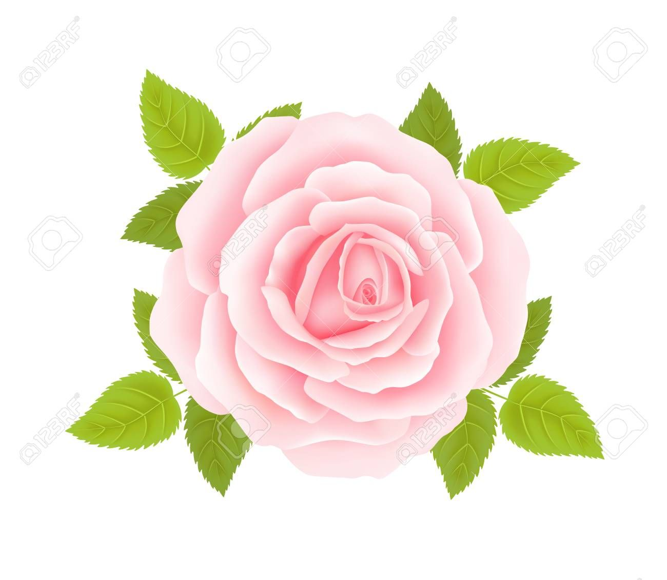 Pink Rose Flower Isolated On White Background Vector Illustration
