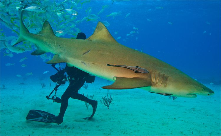 Lemon Shark Facts - What Makes It Different From Other Sharks