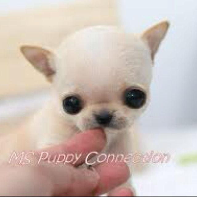 Big Eyes Chihuahua Teacup Chihuahua Puppies Chihuahua Puppies