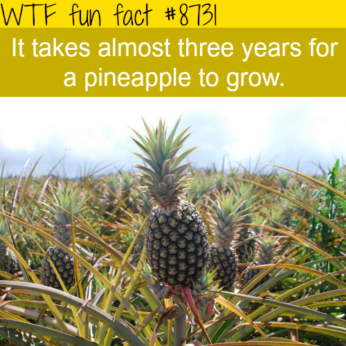 how long it takes for a pineapple to grow wtf fun facts dem facts tho fun facts. Black Bedroom Furniture Sets. Home Design Ideas